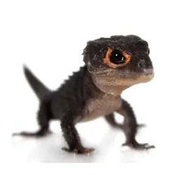 Red-Eyed Crocodile Skink (Tribolonotus gracilis)