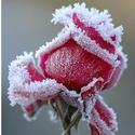 情人节的6支玫瑰香水