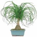 Ponytail Palm Bonsai Tree