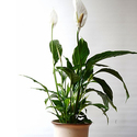 Delray Plants Peace Lily - Spathiphyllum